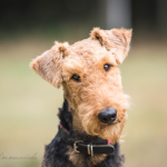 Airdale Terrier Benja