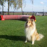 Collie Rebell